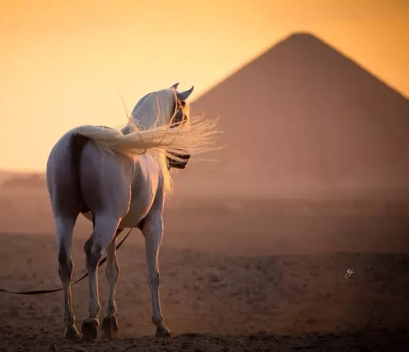 ... 的名作《帐篷》形象地描绘了阿拉伯马在贝都因人家